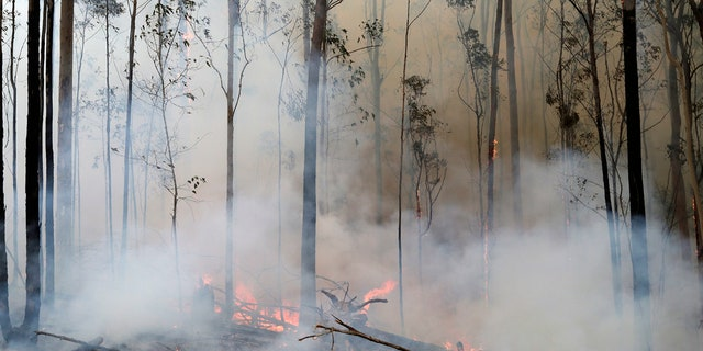 Flames from a controlled fire burn around trees as firefighters work at building a containment line at a wildfire near Bodalla, Australia, Sunday, Jan. 12, 2020.