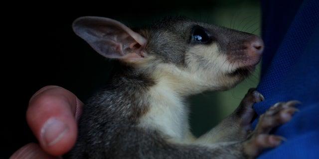 Barb Copus holds a rescued baby brushtail possum at the Kangaroo Island Wildlife Park in the Parndana region on January 08, 2020, on Kangaroo Island, Australia.