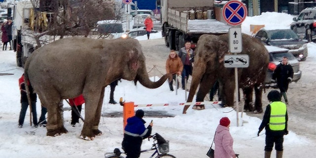 When the circus troupe in Yekaterinburg tried to load the animals into a truck to head to the next destination, they resisted and walked away.