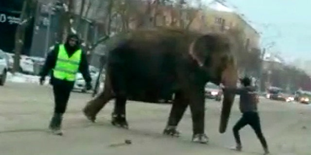 An elephant crosses the street in Yekaterinburg, Russia.