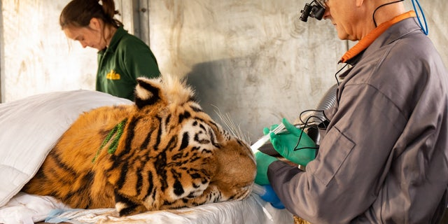 The photo above shows Kuzma, a Siberian tiger, undergoing a long root canal surgery. (SWNS)