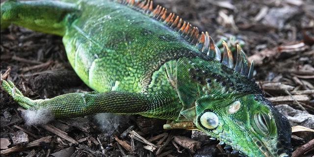 A stunned iguana lies in the grass at Cherry Creek Park in Oakland Park, Fla., Wednesday, Jan. 22, 2020.