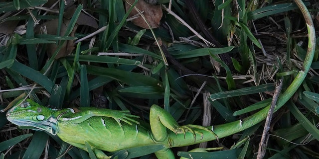 A stunned baby iguana lies in the grass at Cherry Creek Park in Oakland Park, Fla., Wednesday, Jan. 22, 2020.