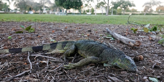 A stunned iguana lies in the grass at Cherry Creek Park in Oakland Park, Fla., Wednesday, Jan 22, 2020.