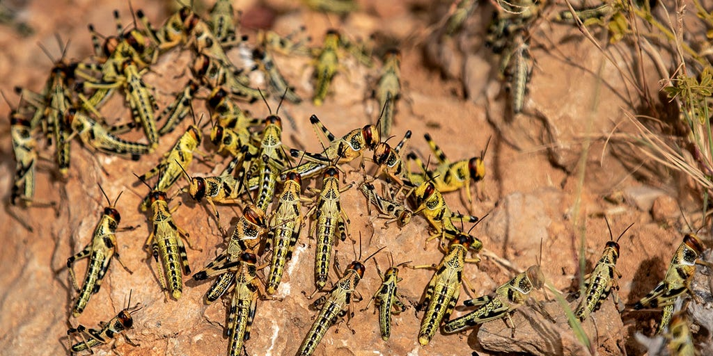 Africa locust invasion spreading, may become 'most devastating plague' in living memory, UN warns