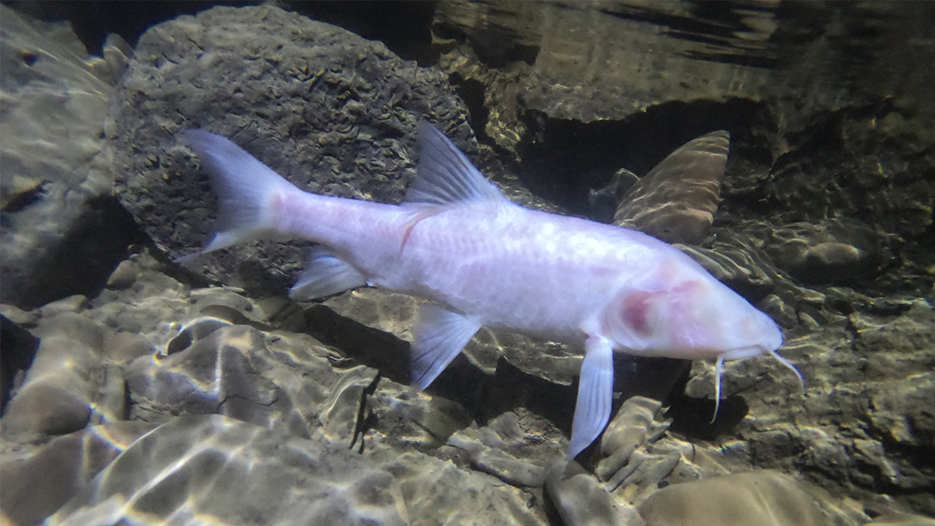 World's largest cave fish discovered in North-East India