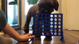 Dog playing Connect 4 with owner stuns the Internet