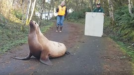Washington state 鈥榬oad hazard鈥� turns out to be lost 600-pound sea lion, sheriff says