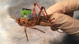 Cyborg locusts could be used to sniff out bombs, scientists say