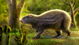 Fossils of prehistoric human-sized rat that weighed nearly 200 pounds and had massive teeth discovered in South America