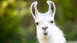 Burglars stop to feed llama while ransacking Welsh farm
