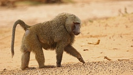 Male baboon escapes Australia medical facility with 'two wives' before vasectomy, health official says