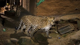Majestic leopard seen 'posing' for camera on city streets, pictures reveal