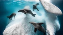 Strange seal 'ballet' underneath Antarctic iceberg revealed in breathtaking photo