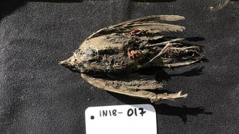 Frozen bird discovered in Siberia is 46,000 years old, scientists discover