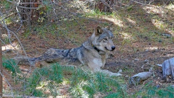 Endangered gray wolf that wandered 8,712 miles looking for a mate or another pack found dead in California