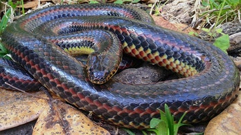 Elusive rainbow snake spotted in Florida national forest for first time in 50 years, experts say