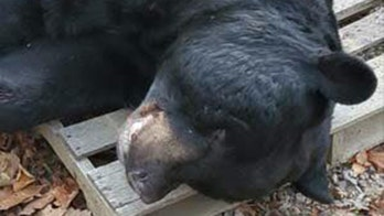 700-pound black bear shot in New Jersey sets world record