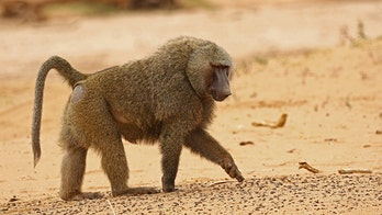 Male baboon escapes Australia medical facility with 鈥榯wo wives鈥� before vasectomy, health official says