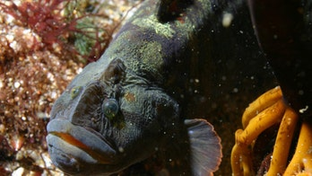 Bizarre looking fish could help solve world hunger