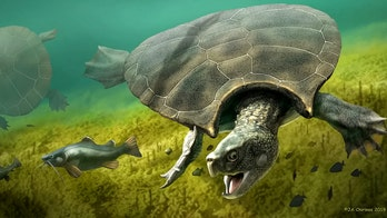 10M-year-old turtle had 8-foot-long shell and weighed nearly 2,500 pounds, study says