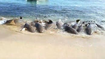 Sharks do 鈥榩ipi鈥� dance in shallow water, video reveals