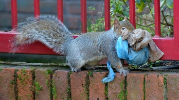Squirrels are now using plastic to build nests, shocking photos show