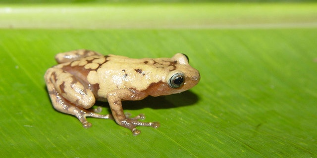 The common giant tree frog from Madagascar is one of many species impacted by recent climate change. (Credit: John J. Wiens)