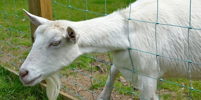 A goat with its head stuck in a fence was screaming last week when a neighbor called the police, thinking it was a child in distress.