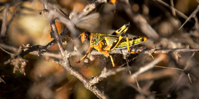 A young desert locust is stuck in a spider's web on a thorny bush in a desert of Somalia.