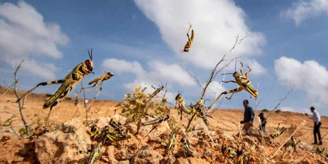 Locust swarms arrive in South Sudan, threatening more misery