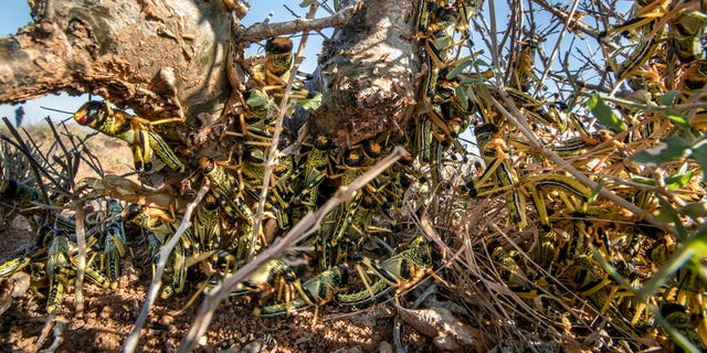 Young desert locusts that have not yet grown wings crowd together on a thorny bush in the desert near Garowe, in the semi-autonomous Puntland region of Somalia.