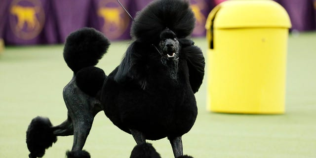 Siba, the standard poodle, competes for Best in Show during the 144th Westminster Kennel Club dog show, Tuesday, Feb. 11, 2020, in New York. (AP Photo/John Minchillo)