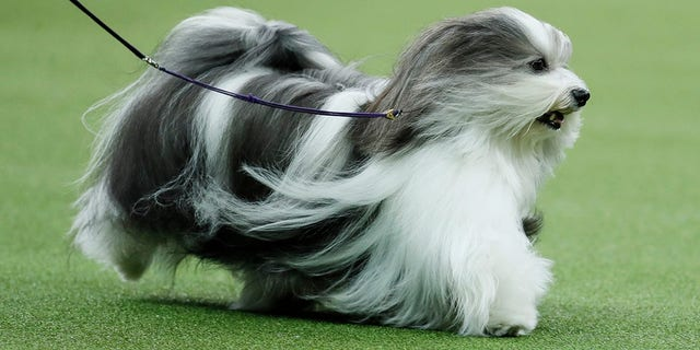 Bono, the Havanese, competes during 144th Westminster Kennel Club dog show, Tuesday, Feb. 11, 2020, in New York. (AP Photo/John Minchillo)