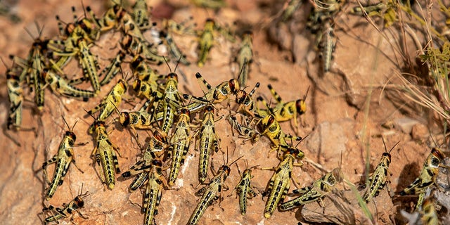 Young desert locusts that have not yet grown wings crowd together on a rock in the desert near Garowe in the semi-autonomous Puntland region of Somalia