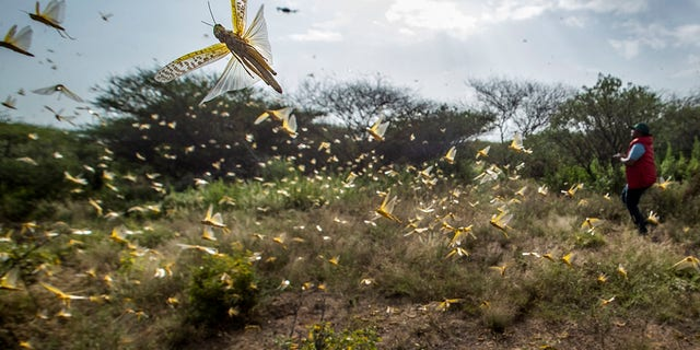 In this photo taken Saturday, Feb. 1, 2020, desert locusts jump up from the ground and fly away as a cameraman walks past, in Nasuulu Conservancy, northern Kenya. (AP Photo/Ben Curtis)