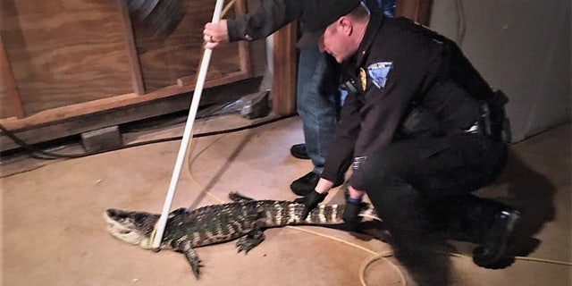 The alligator was checked out and found to be in average health.