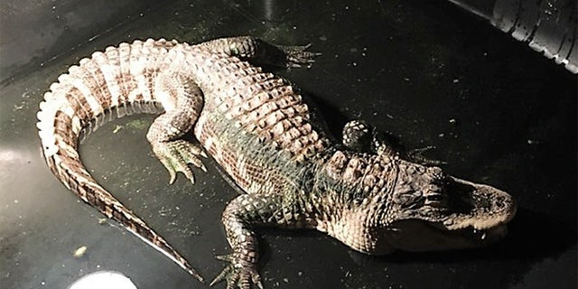 Police in Ohio responded to a home and removed a five-foot alligator that had been living in the basement for 25 years.