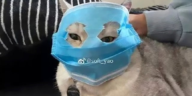 A cat with a makeshift mask.