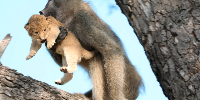 In this photo taken Saturday, Feb. 1, 2020, a male baboon carries a lion cub in a tree in the Kruger National Park, South Africa.