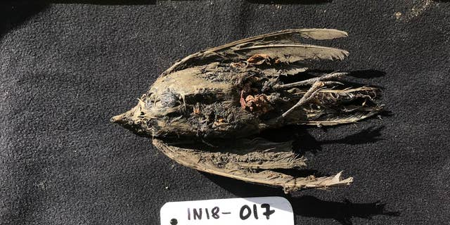 After analysis, scientists revealed that the frozen bird found in Siberia is 46,000-year-old horned lark.