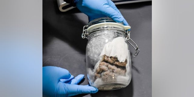 Customs and Border Protection officers found a human brain in a Canadian mail shipment last week.