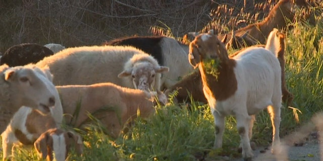 Goats and sheep are being used to eat high grass that could cause wildfires if left to grow out of control.