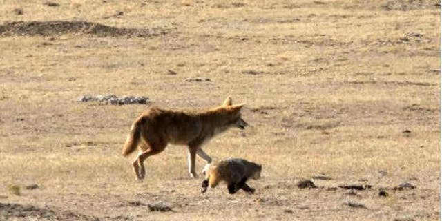Westlake Legal Group Capture Adorable video shows coyote and badger playing, possibly hunting together in California fox-news/us/us-regions/west/california fox-news/science/wild-nature fox news fnc/science fnc David Aaro d7af4749-b754-50e8-b05b-997cc24fe9f7 article