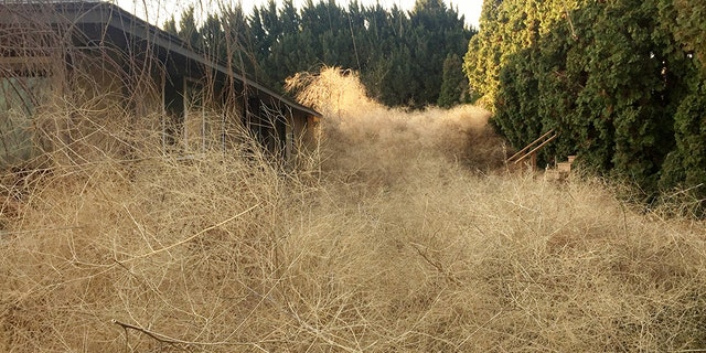 His home in Kennewick, Wash., is surrounded by piles of dry weeds from nearby wheat fields.