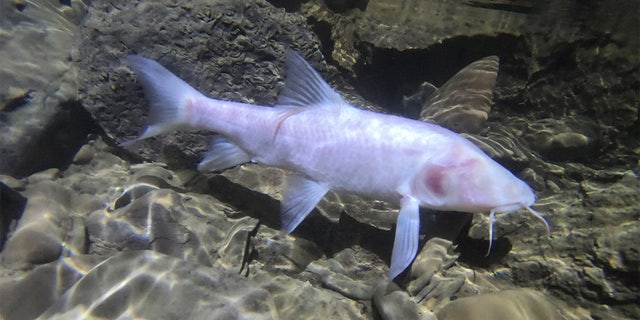 One of the fish that was discovered in a cave in northeastern India. (Uros Aksamovic)
