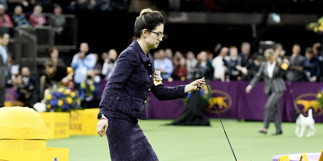 The Australian Terrier 'Bacon' and handler compete during Terrier Group judging at the 143rd Westminster Kennel Club Dog Show at Madison Square Garden on February 12, 2019 in New York City.