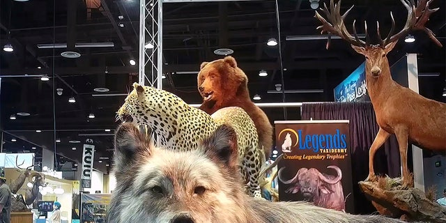 This image from video provided by the Humane Society of the United States shows taxidermy at the Safari Club International's 2020 annual convention, that was held Feb. 5-8, 2020, in Reno, Nevada.? (Humane Society of the United States via AP)