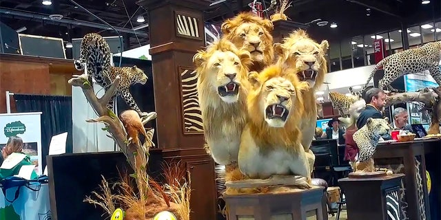 This image from video provided by the Humane Society of the United States shows a four-lion taxidermy at the Safari Club International's 2020 annual convention, that was held Feb. 5-8, 2020, in Reno, Nevada.? (Humane Society of the United States via AP)