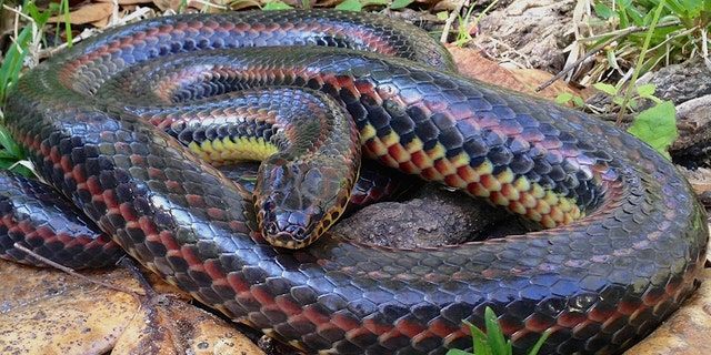 A rainbow snake, like the one pictured above, was spotted in Ocala National Forest for the first time since 1969.